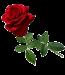 red roses stem
